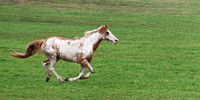 Horse Running in Canaan