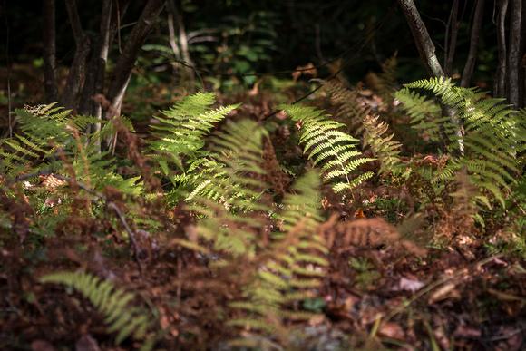 Ferns at Big Run Bog